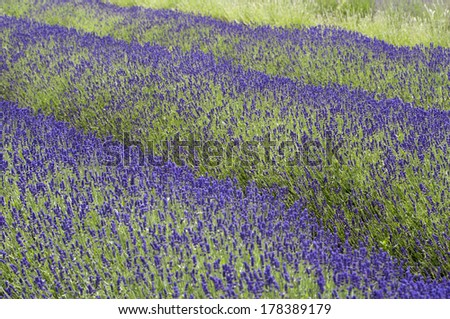 Lavender fields in English Countryside in July