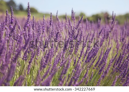 Lavender fields in France - stock photo
