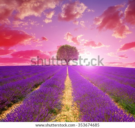 Lavender fields in Provence at sunset - France, Europe. - stock photo