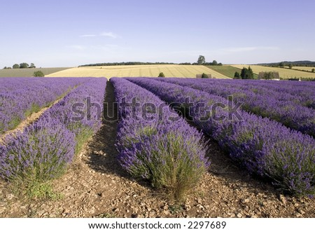 lavender fields in rows agricultural landscape rural
