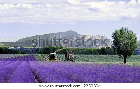 lavender fields provence france farming agriculture french europe - stock photo