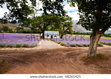 lavender fields surrounding small traditional white farm house in Paarl, South Africa - stock photo