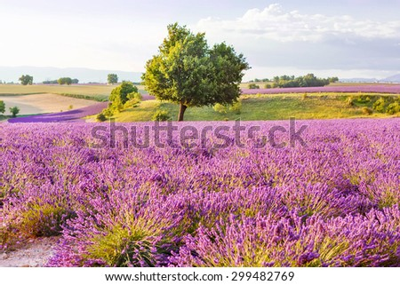Lavender fields with lonely tree near Valensole in Provence, France on sunset. Beautiful view on rows and provencal houses. Popular place for traveling and tourists in summer. - stock photo