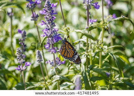 Lavender Fields with Monarch Butterfly at Rama IX Park Bangkok, Thailand