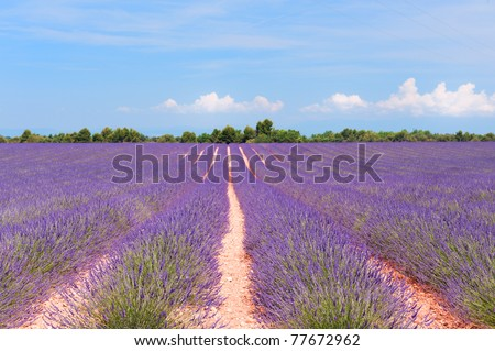 Lavender fields with red poppies in French landscape