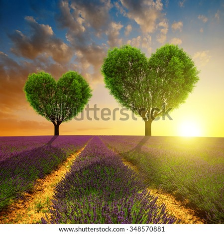 Lavender fields with trees in the shape of heart at sunset. Valentines day. - stock photo