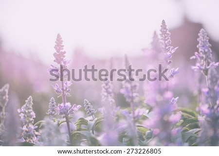 lavender flower - stock photo