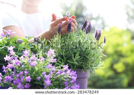 Lavender flower arrangement . Female plants in pot plants forming a beautiful composition flower - stock photo