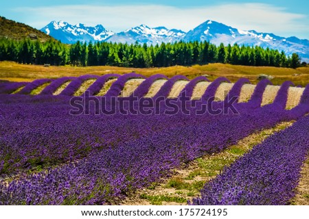 Lavender flower blooming fields in endless rows and trees and snowy mountains on background used in cosmetics and perfumes. Landscape in New Zealand. - stock photo
