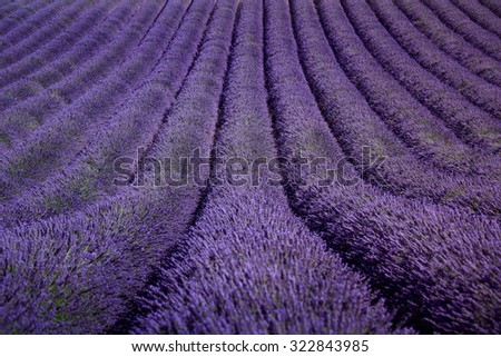 Lavender flower blooming fields in endless rows as a pattern or texture. Landscape in Valensole plateau, Provence, France, Europe. - stock photo