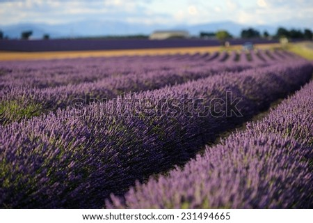Lavender flower blooming fields. Landscape in Valensole plateau, Provence, France, Europe. - stock photo