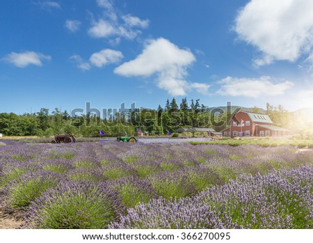 Lavender flower blooming scented field, Sequim, WA. - stock photo