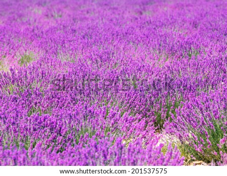 Lavender flower blooming scented field. Valensole plateau, provence, france, europe. - stock photo