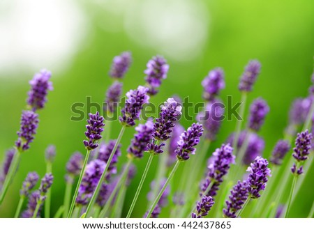 Lavender flower blooming scented fields - stock photo