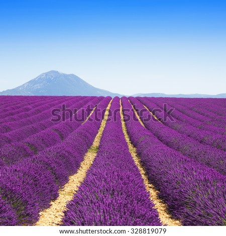 Lavender flower blooming scented fields in endless rows and mountain on background. Valensole plateau, provence, france, europe. - stock photo