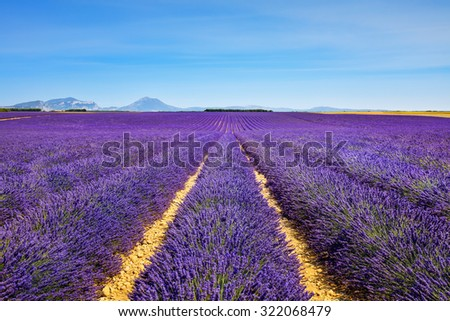 Lavender flower blooming scented fields in endless rows and trees on background. Valensole plateau, provence, france, europe. - stock photo