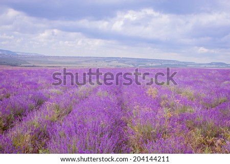Lavender flower blooming scented fields in endless rows. Provence, france, crimea. - stock photo