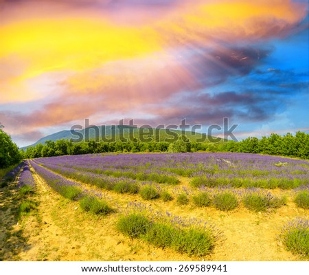 Lavender flower blooming scented fields in endless rows. Valensole plateau, provence - France - stock photo