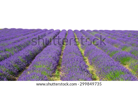 Lavender flower blooming scented fields on white background - stock photo