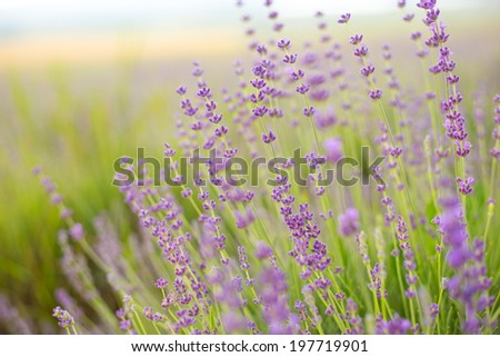 Lavender flower field, close-up for natural background. - stock photo