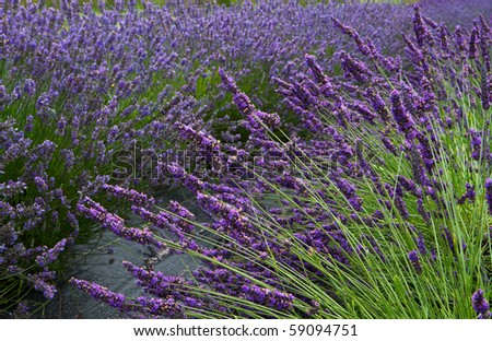 Lavender flower field diminishing to distant soft focus but with emphasis on front as a horizontal image - stock photo