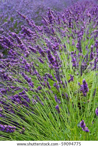 Lavender flower field diminishing to distant soft focus but with emphasis on front as a vertical image - stock photo
