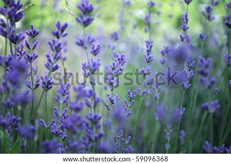 Lavender flower field in fresh summer nature colors - stock photo