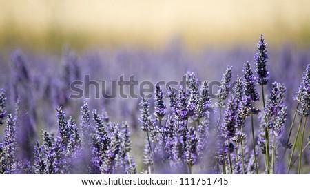 Lavender flower field, provence.France. - stock photo