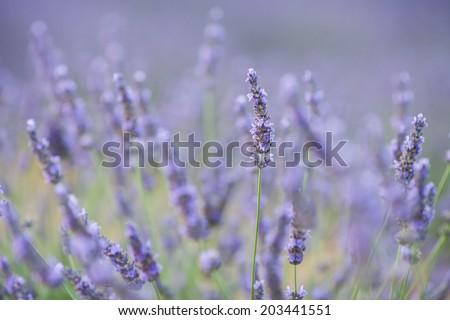 Lavender flower in a field - stock photo