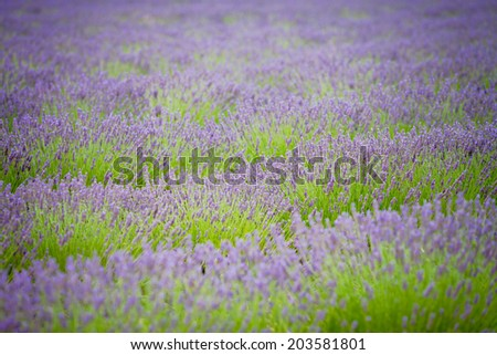 Lavender flower in a field - stock photo