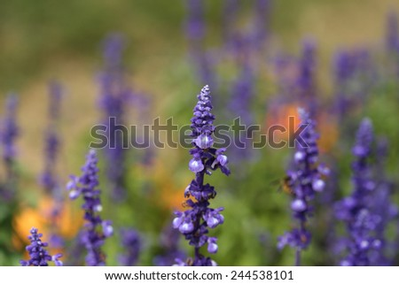Lavender Flower in the garden