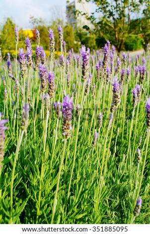 Lavender, Flower, Lavender Coloured. - stock photo
