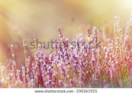 Lavender flower lit by sun rays - stock photo