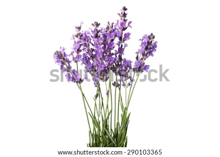 Lavender, Flower, Single Flower.