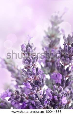 Lavender  flower spring background with beautiful purple colors and bokeh lights. - stock photo