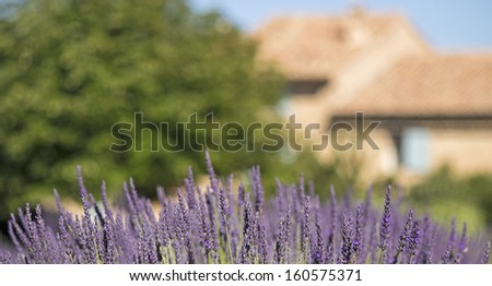 Lavender flower with house in Provence. France. Shallow DOF. - stock photo