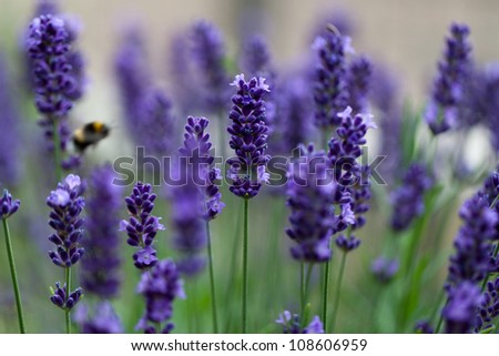 lavender flowers - stock photo