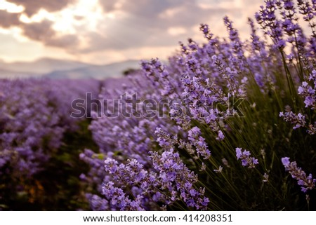 Lavender flowers against dramatic sky background - stock photo