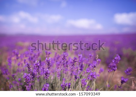 Lavender Flowers at purple lavender field. Aromatherapy lavender flowers. lavender field Summer sunset landscape. Bunch of scented flowers in lavanda fields of French Provence. Violet lavender - stock photo
