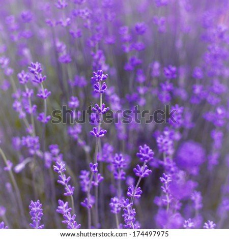 Lavender Flowers Background - stock photo