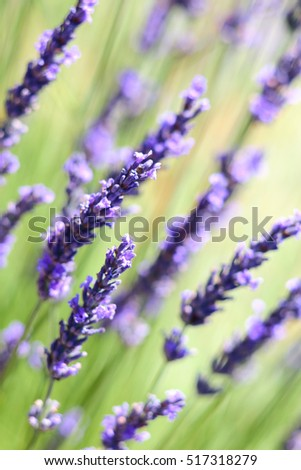Lavender flowers background with swallow depth of field