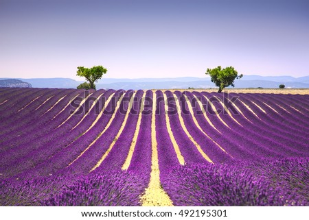 Lavender flowers blooming field and two trees uphill. Valensole, Provence, France, Europe.