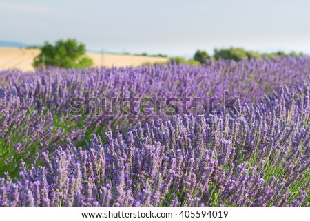 Lavender flowers blooming field, Provence, France - stock photo