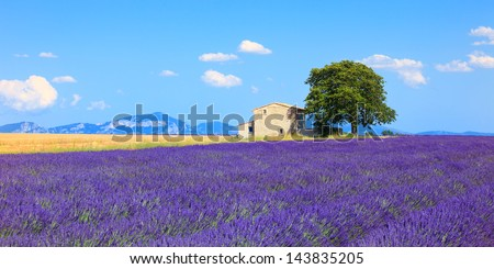 Lavender flowers blooming field, wheat, house and lonely tree. Panoramic view. Plateau de Valensole, Provence, France, Europe. - stock photo