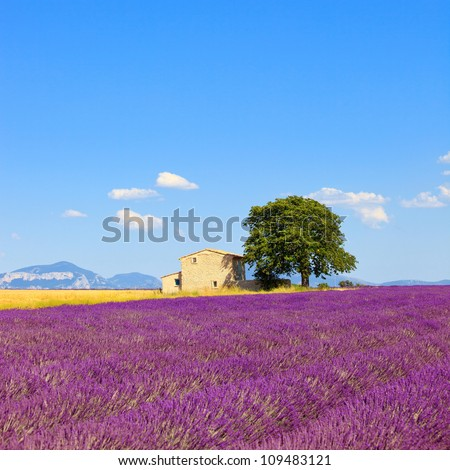 Lavender flowers blooming field, wheat, house and lonely tree. Plateau de Valensole, Provence, France, Europe. - stock photo