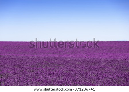 Lavender flowers blooming fields horizon as background, pattern or texture. Landscape in Provence, France, Europe. - stock photo