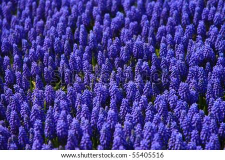 Lavender flowers blooming in a field Taken from Korea - stock photo