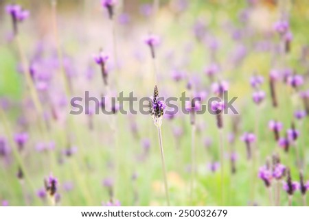 Lavender flowers blooming in garden - stock photo