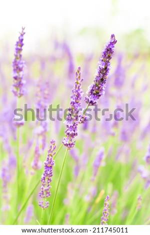 Lavender flowers blooming in summer of Tokyo, Japan - stock photo