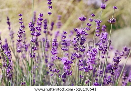 Lavender flowers blooming. Purple field flowers background. Tender lavender flowers.